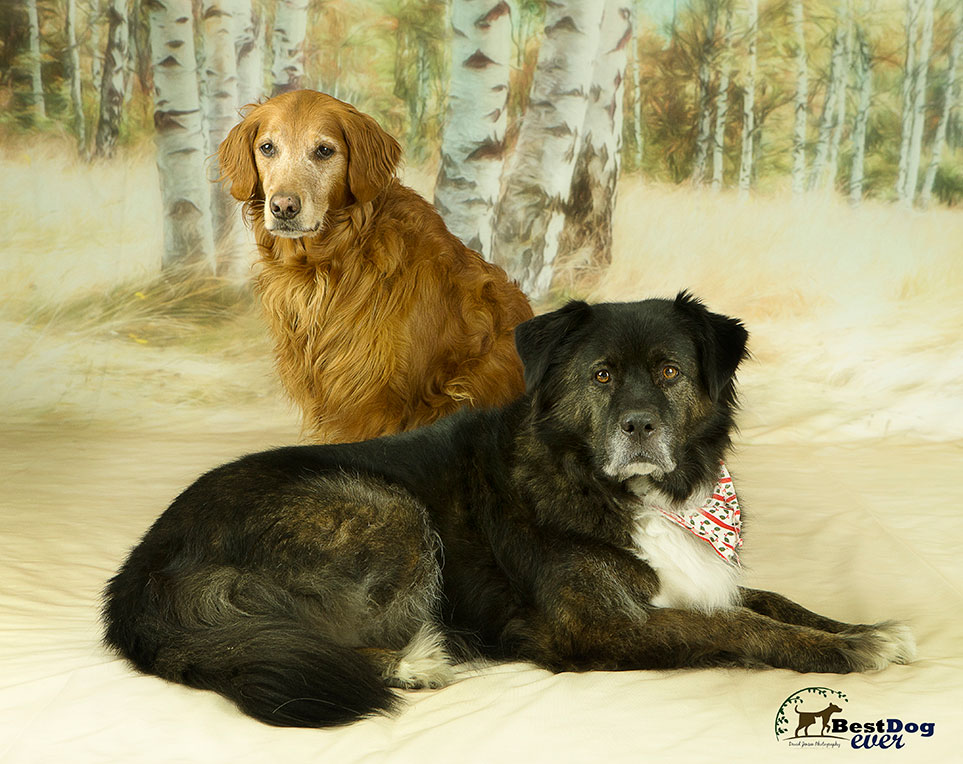Layla and Kobuk look forward to meeting you.  Layla will announce herself with a chorus of chatter and Kobuk will lay over your feet at the front door of the studio. They were adopted as rescues into the Jensen family one month apart more than nine years ago.