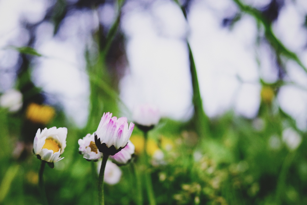 86. Spring Beauties