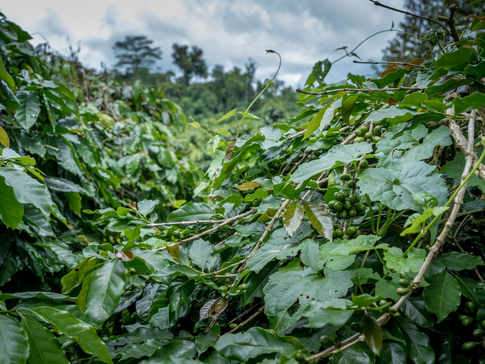Coffee Beans in the plantation - © Thom Pierce / Guardian / Global Witness / UN Environment