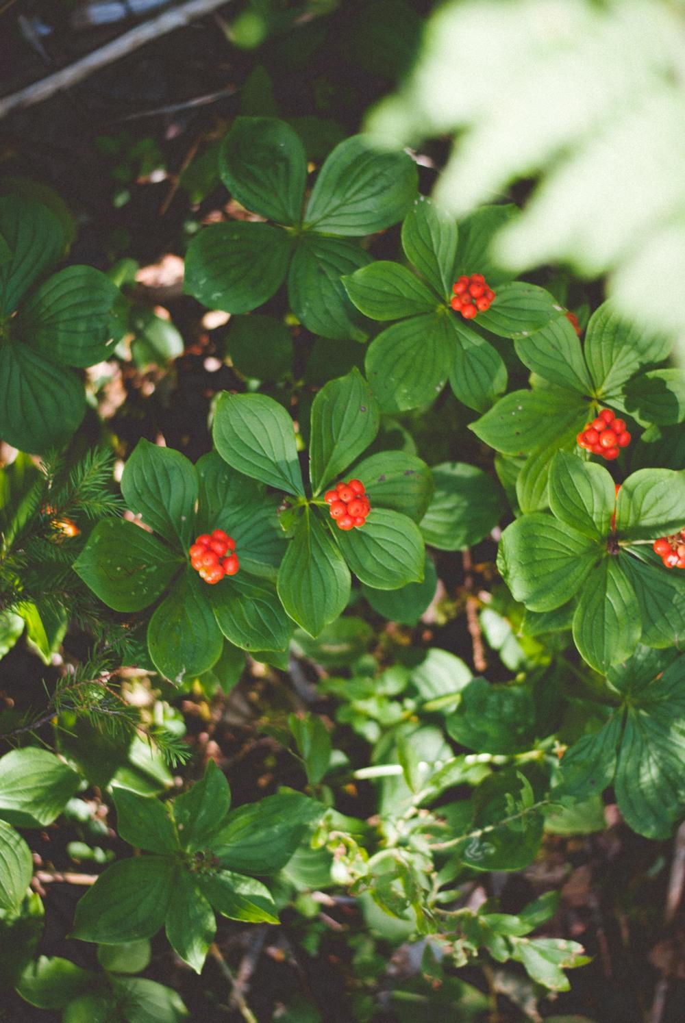 Bunch Berries