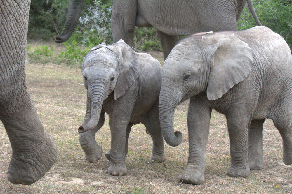 Pair elephant calves Shamwari Game Reserve (1).jpg