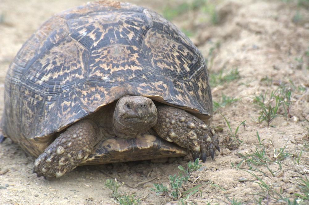 Leopard tortoise at Shamwari Game Reserve (1).jpg