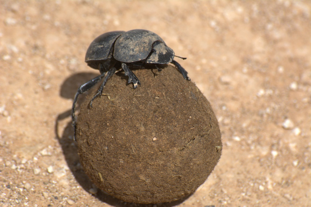 Dung beetle at Addo Elephant National Park (1).jpg