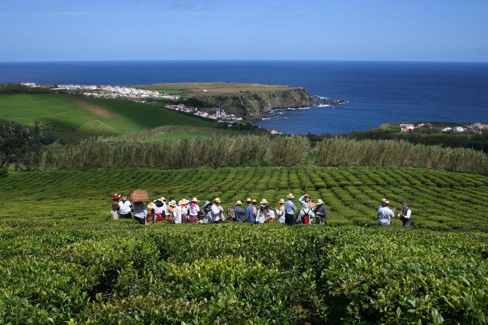 azores 2 tea plantation.jpg