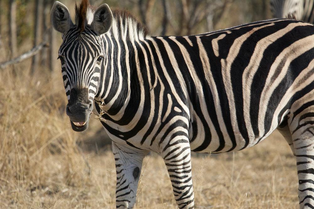 Lucy best photos RISD 2018 South Africa Zebra.jpg