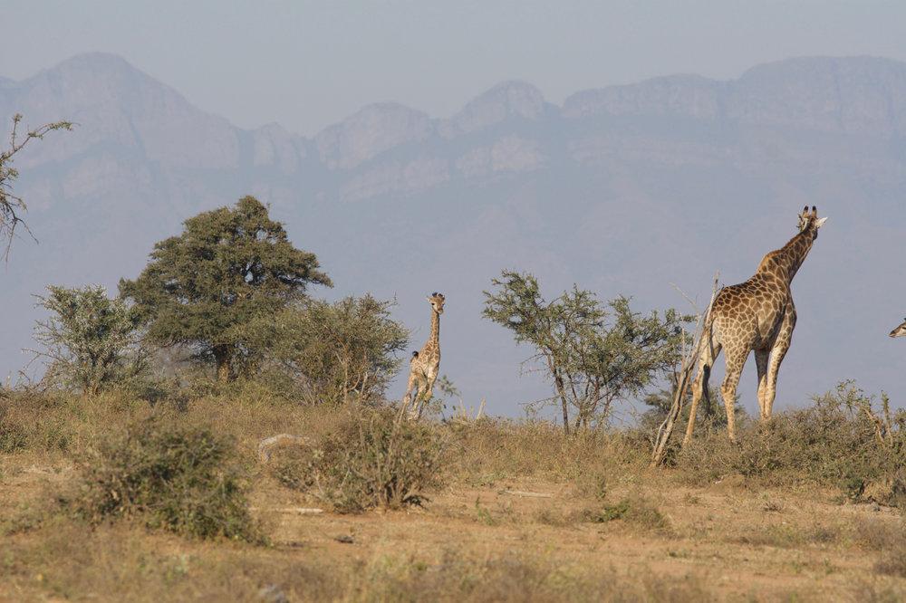 Lucy best photos RISD 2018 South AfricaGiraffes - 9.jpg
