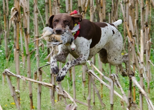 duke retrieving (2).jpg