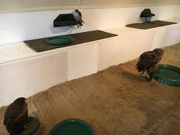 Fuglene sidder i samme rum, når de ikke flyver, men er bundet fast til deres pind, da de ellers ville komme vældigt op at toppes. Foto: Andrea Bak