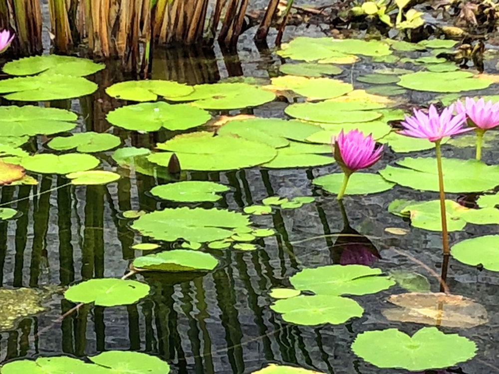 lotusfront.jpg