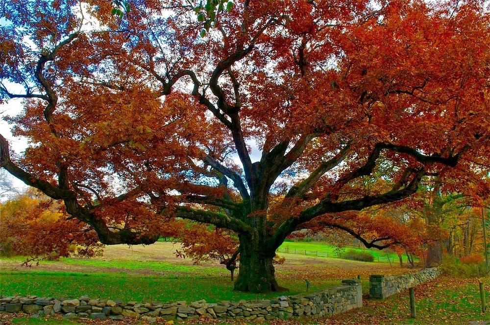 Bedford Oak Fall 2 (1).jpg