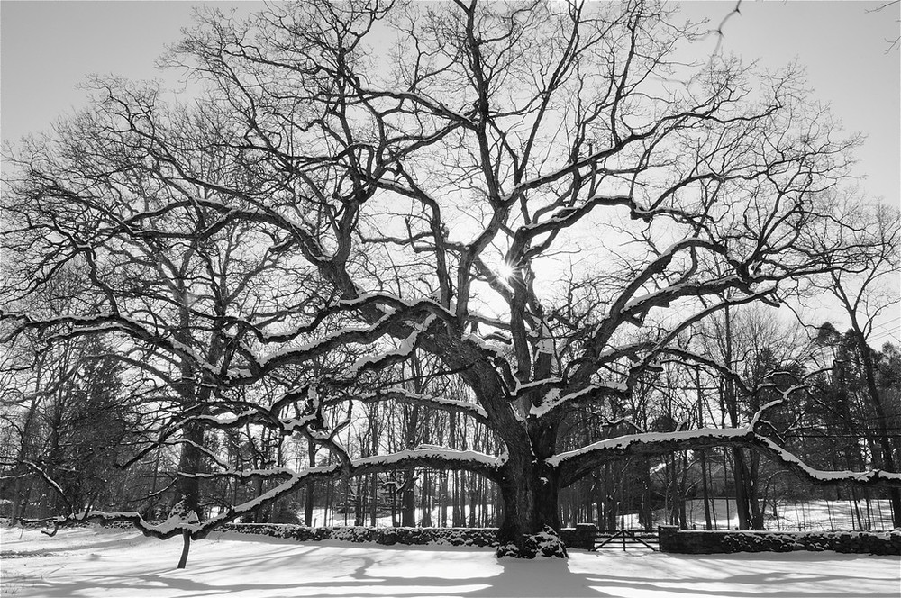 Bedford Oak Winter.jpg