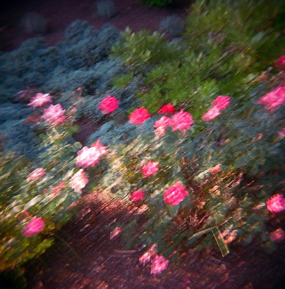 holga rose blur.jpg