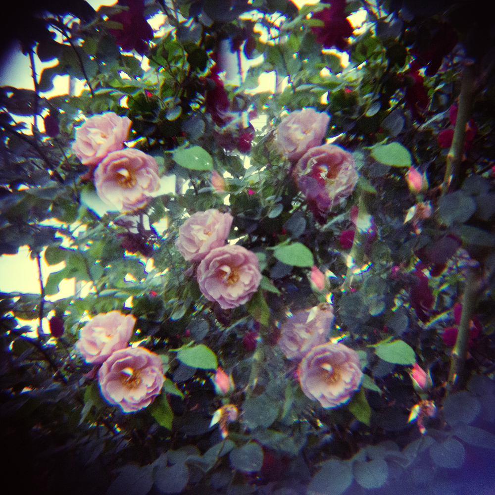 holga lens flowers (19 of 30).jpg