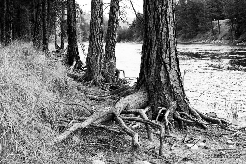 tree roots on river