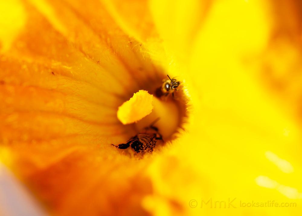 bees in pumpkin blossom