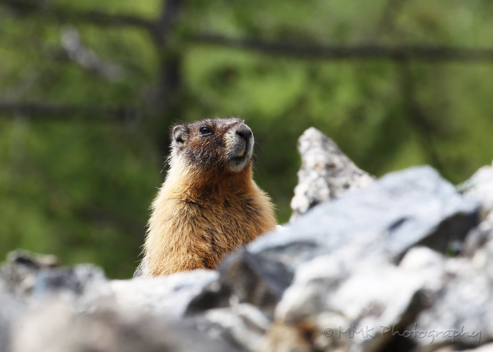 Parent marmot keeping an eye on me and babies.