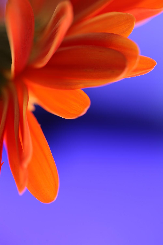 In studio / Gerbera daisy.