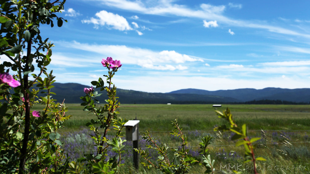 Wild  roses and lupine between Seeley Lake and Missoula.