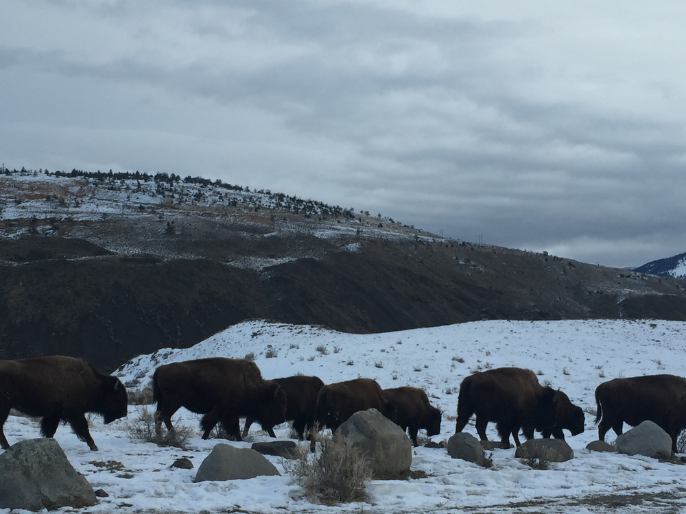 Once the bison cross the park boundary, they can be shot by hunters. If they are not shot, they may later be rounded up and sent to slaughter. But if they stay in the park, they may not be able to find the food they need to survive the winter.
