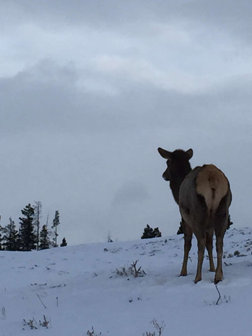 In addition to bison, Wallen and his team take a weekly count of the elk, pronghorn and mule deer in the Gardiner area.