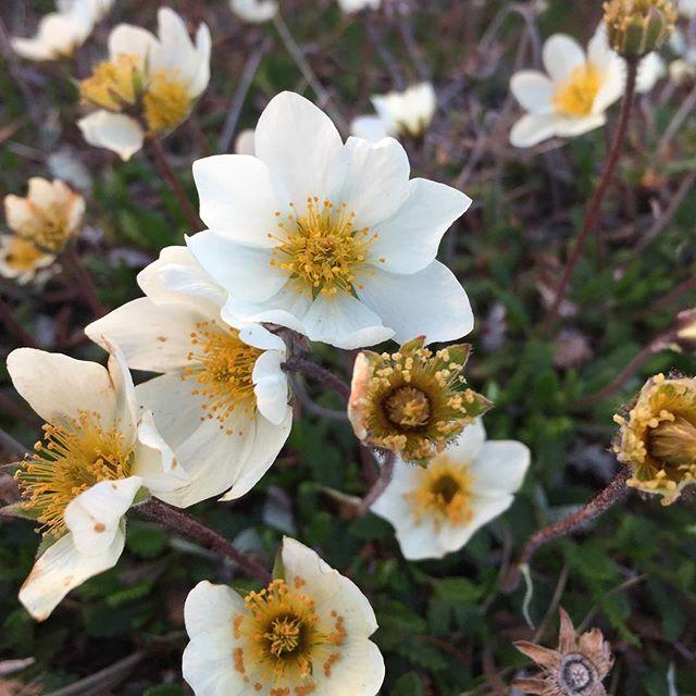 Dryas! . . . #arctic #flowersofinstagram #sweden #sverige #thisisforchelle