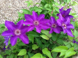 Clematis are a creeping, flowering vine great for a trellis or arbor. These flowers are about 5 inches (13 cm) wide! we have two varieties in the front yard.