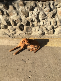 Dog soaking in the sunshine on the sidewalk on Playa del Coco's main drag.