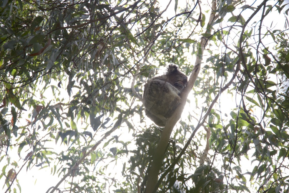 wild Koalas doing what they do - sleeping in trees.