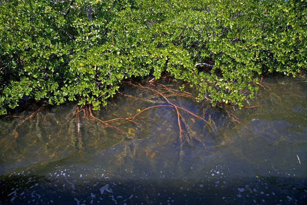 Mangrove forests are common along the shorelines of Biscayne