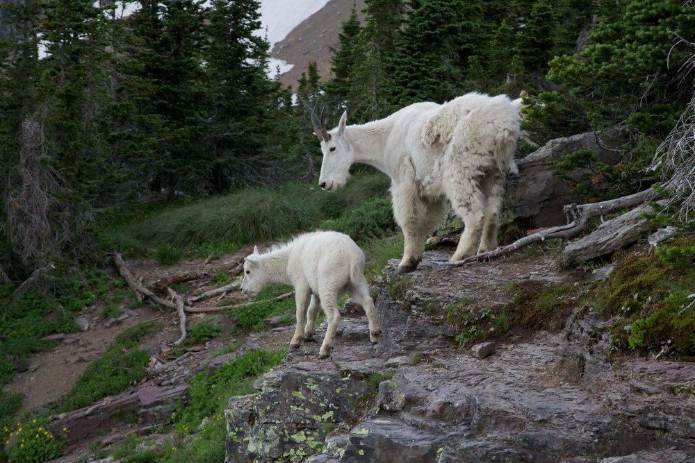 Glacier goats!