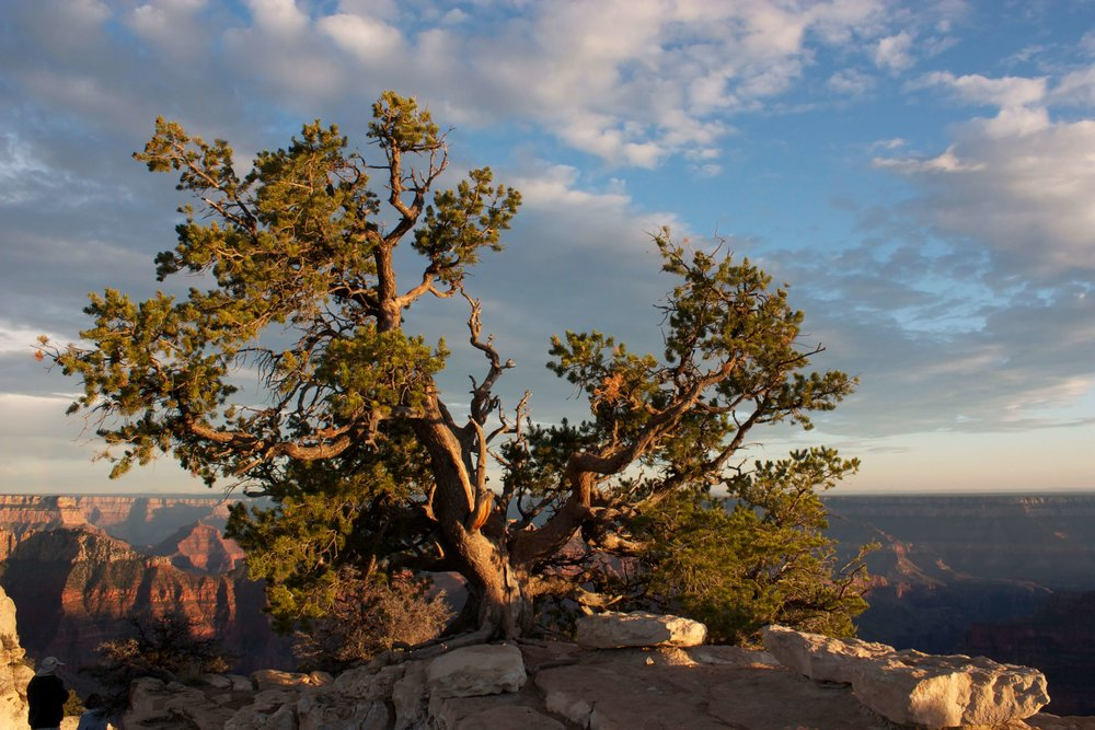 North Rim Utah Juniper