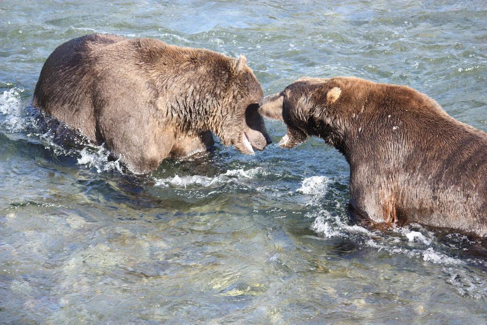 Up close look at battling bears!