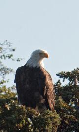 Bald Eagle eyeing salmon dinner!