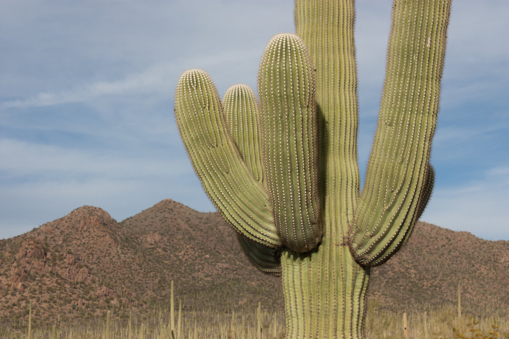 Giant Saguaro's can live over 150 years.
