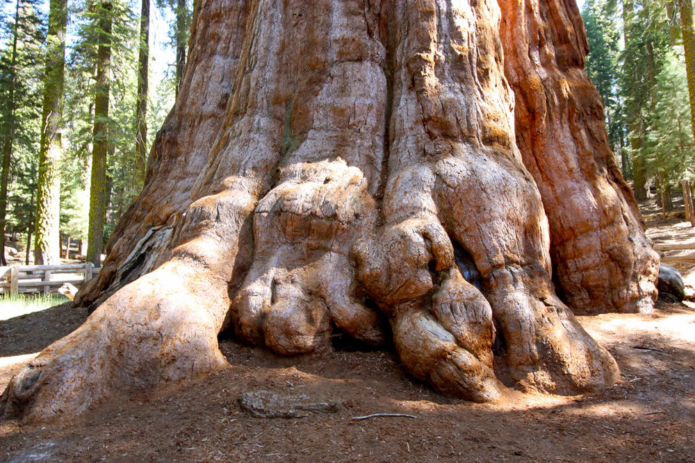 General Sherman - the most massive living thing on earth!