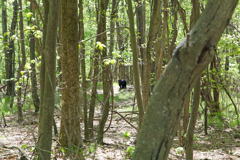 Bear in the woods!