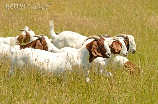 Herd of Boer goats. They are easily recognizable by their distinctive white body with a  reddish-brown head, as well as their roman noses.