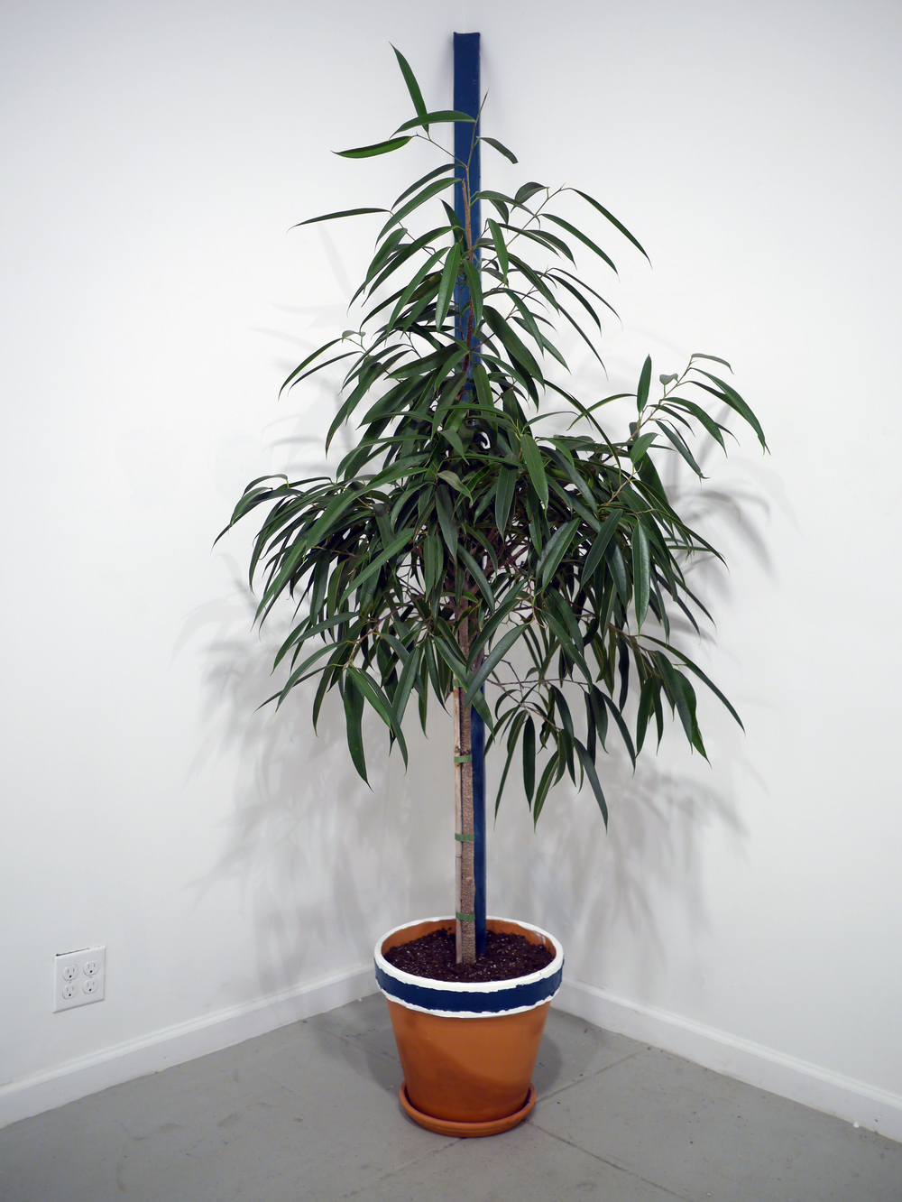 Plant in Line  94 inches  Oil on canvas, weeping fig  2015