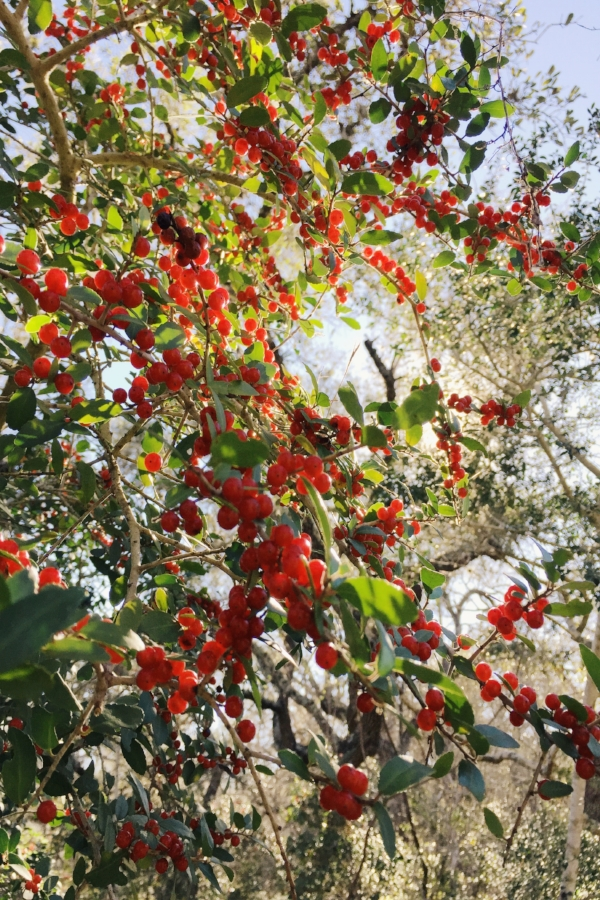 Red berries at Monument Hill in La Grange, Texas.