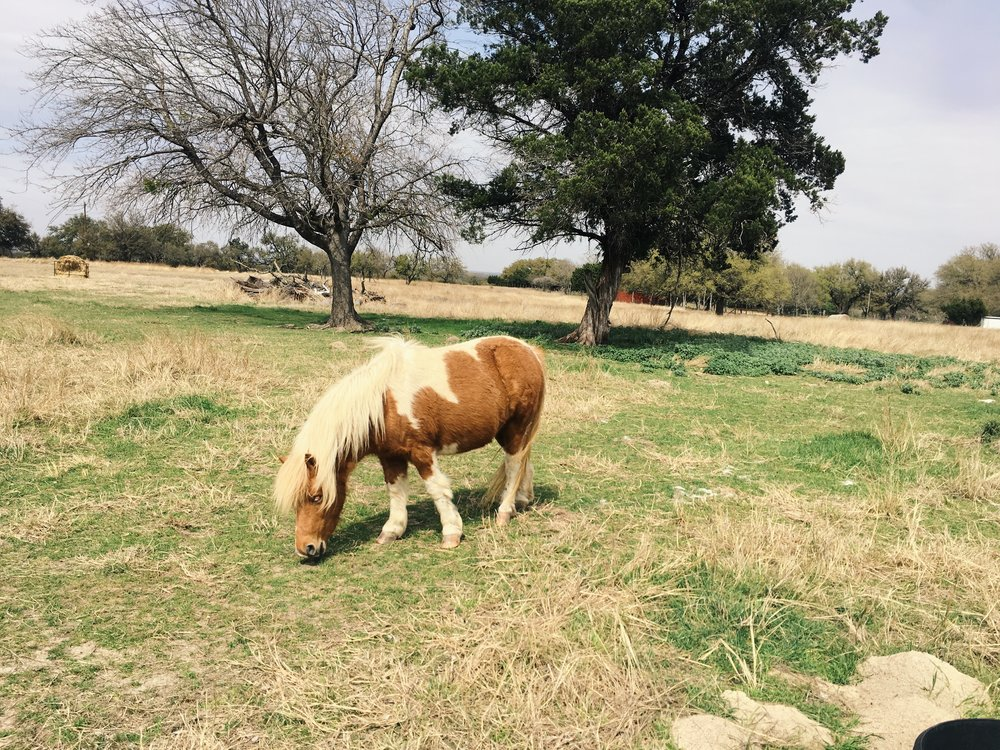 A miniture pony on a small farm in central Texas.