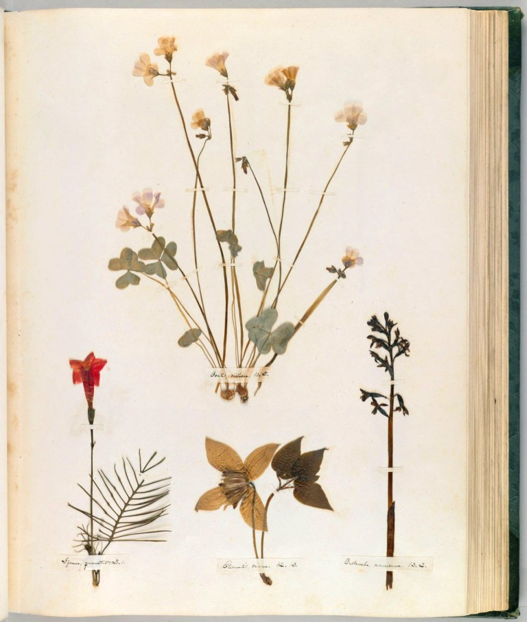 A page from Emily Dickinson's herbarium via the  Houghton Library , Harvard University.