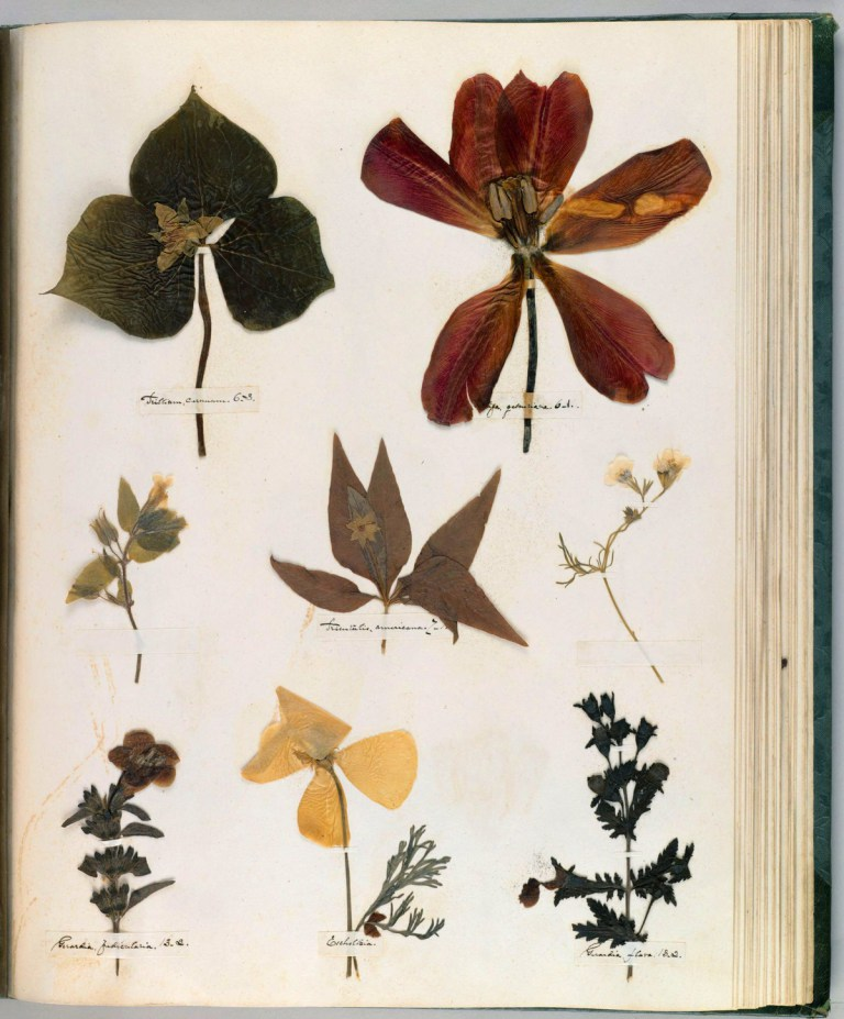 Pressed flowers on a page from Emily Dickinson's herbarium via the  Houghton Library , Harvard University.