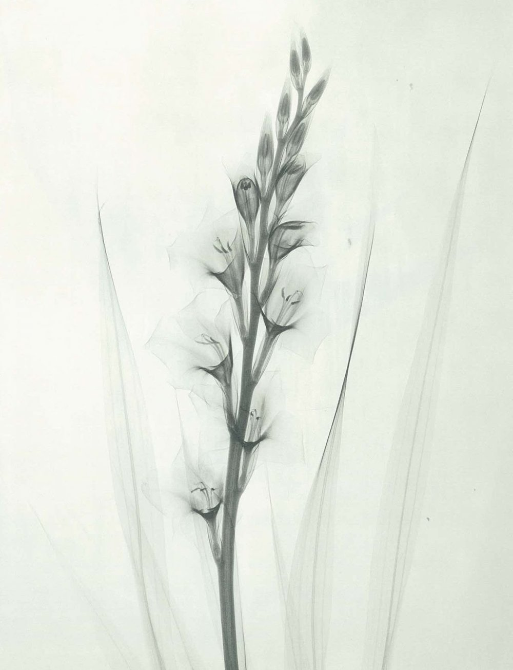 Minimalist Flower X-Rays From The 1930s