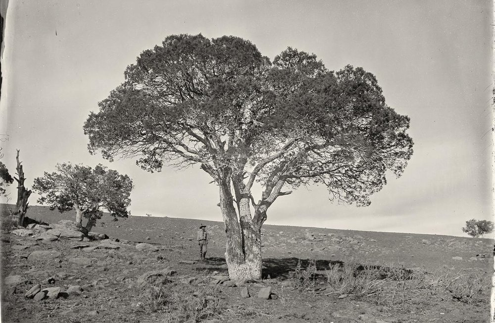 Oak Grove in White Mountains. Sierra Blanca, Arizona in 1873.
