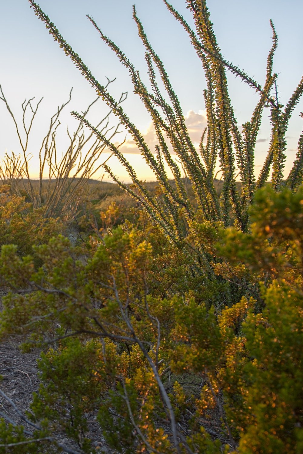 Ocatillo at sunset in Big Bend Ranch State Park.