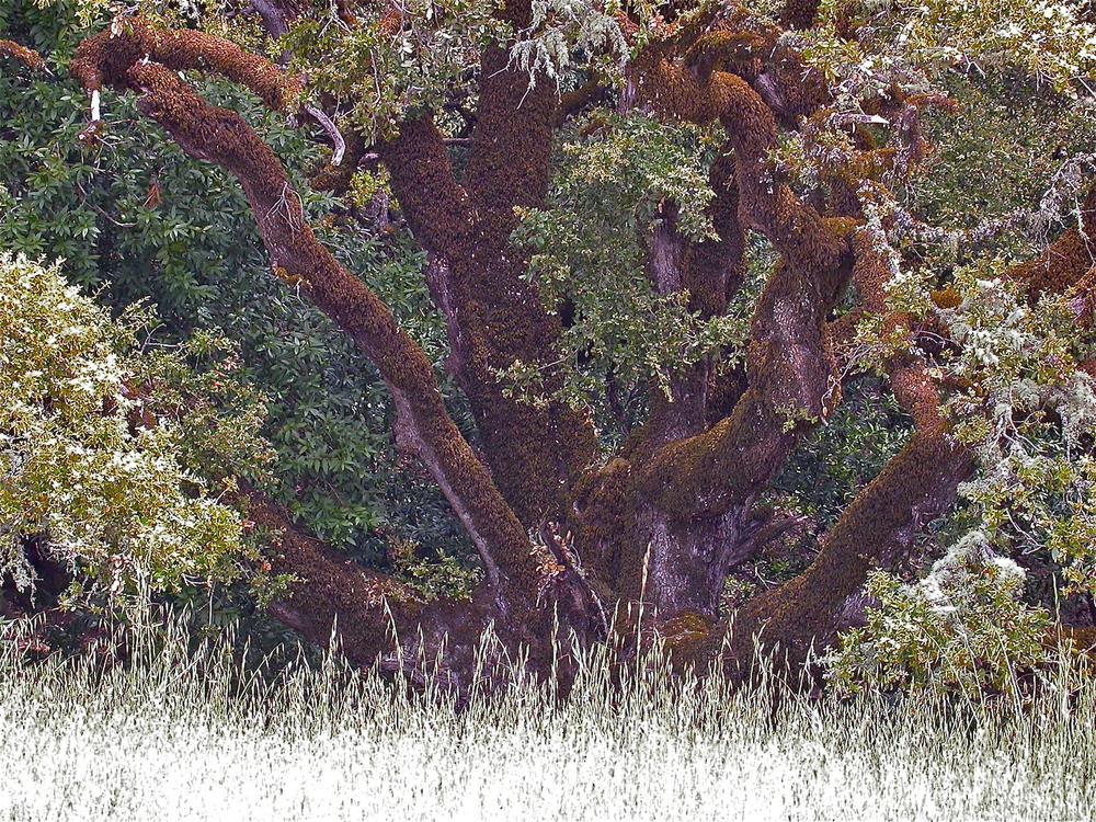 Ridge Tree.JPG