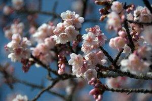 nehan-e-blossoms.jpg