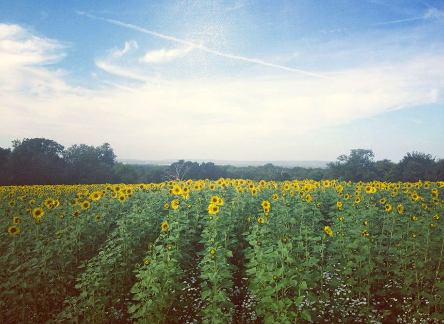 Surrey sunflower field.