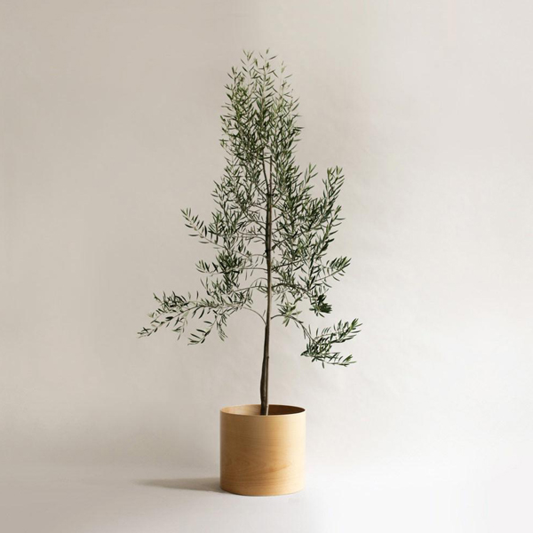 Olive Tree_The Plants Project.jpg