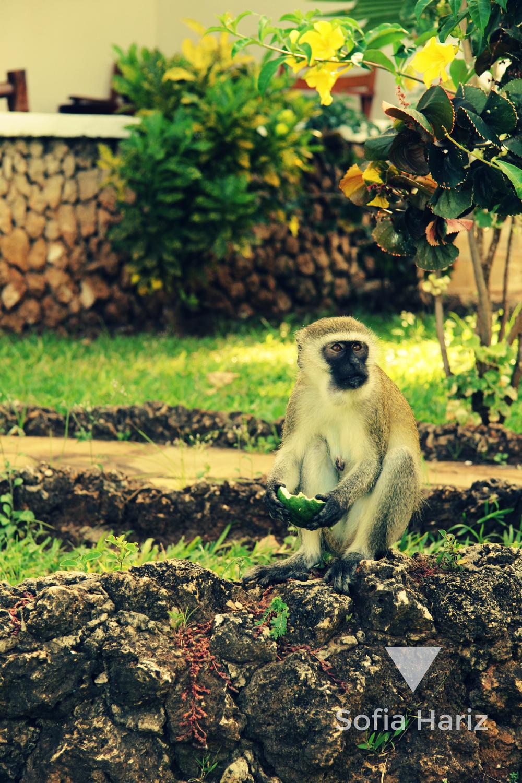 Vervet monkey - Mombasa, Kenya
